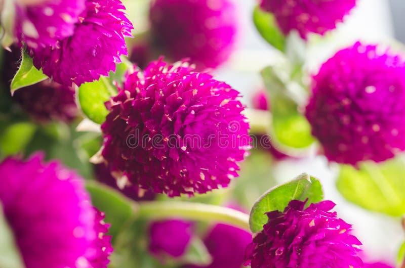 Bolamarant of de bloem van de Vrijgezelknoop royalty-vrije stock fotografie
