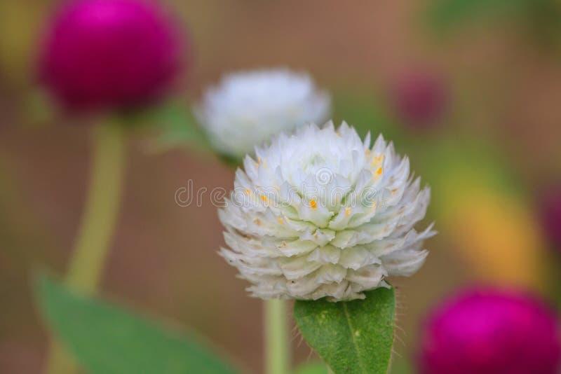 Bolamarant of de bloem van de Vrijgezelknoop royalty-vrije stock afbeeldingen