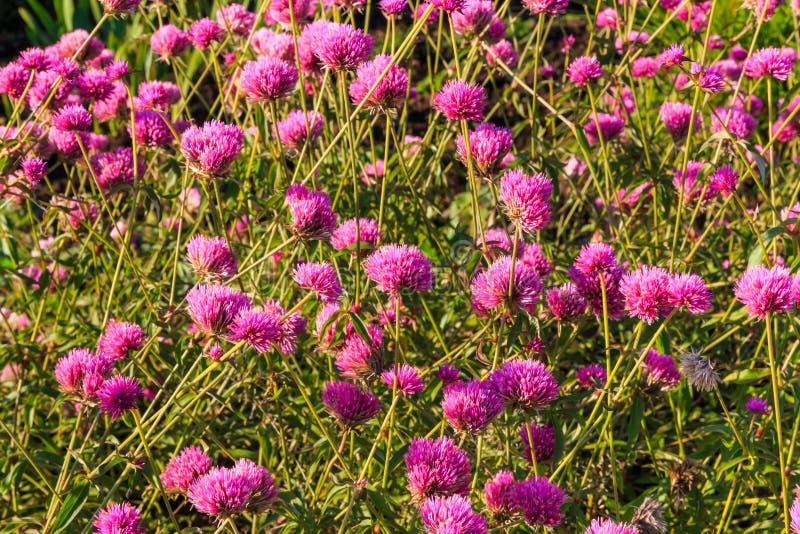 Bolamarant of Vuurwerkbloem Violette bloem in het harde zonlicht royalty-vrije stock fotografie
