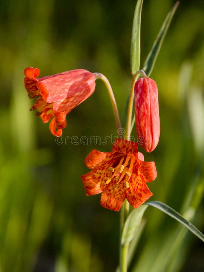 Bolanders Lily - Oregon Wildflowers royalty free stock images