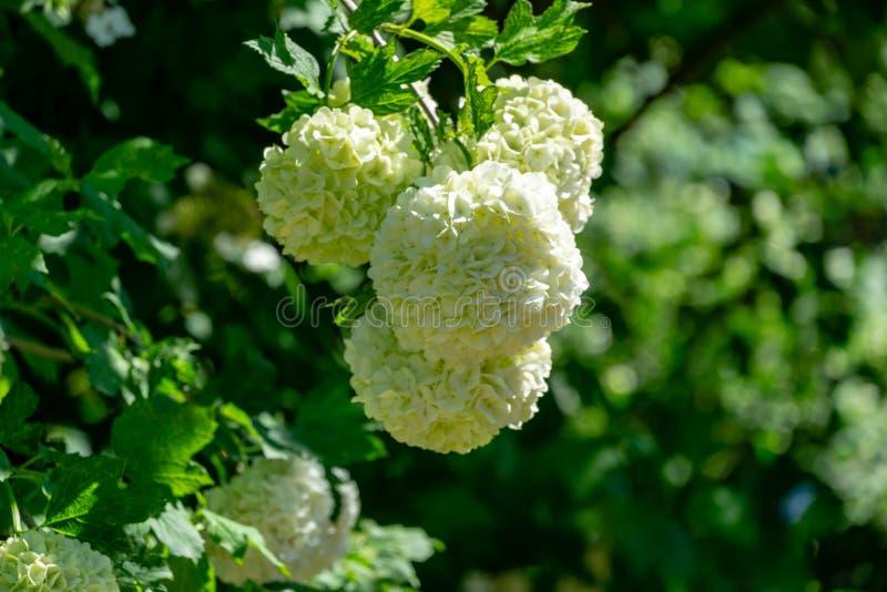 Bolas brancas bonitas do opulus de florescência 'Roseum' do Viburnum em escuro - fundo verde Guelder Rosa branco fotografia de stock