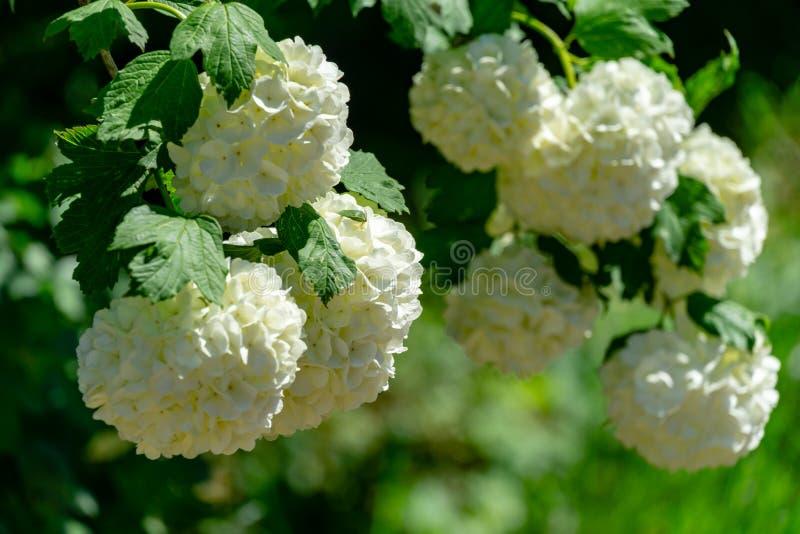 Bolas brancas bonitas do opulus de florescência 'Roseum' do Viburnum em escuro - fundo verde Opulu branco de Guelder Rosa ou de V fotos de stock royalty free