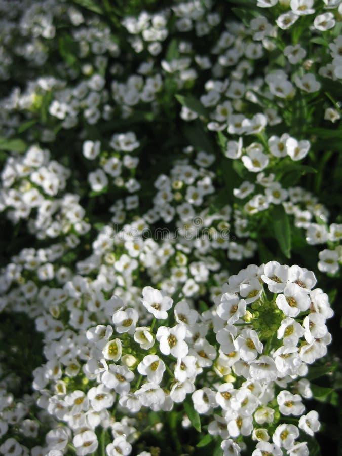 Bolas da flor branca imagem de stock