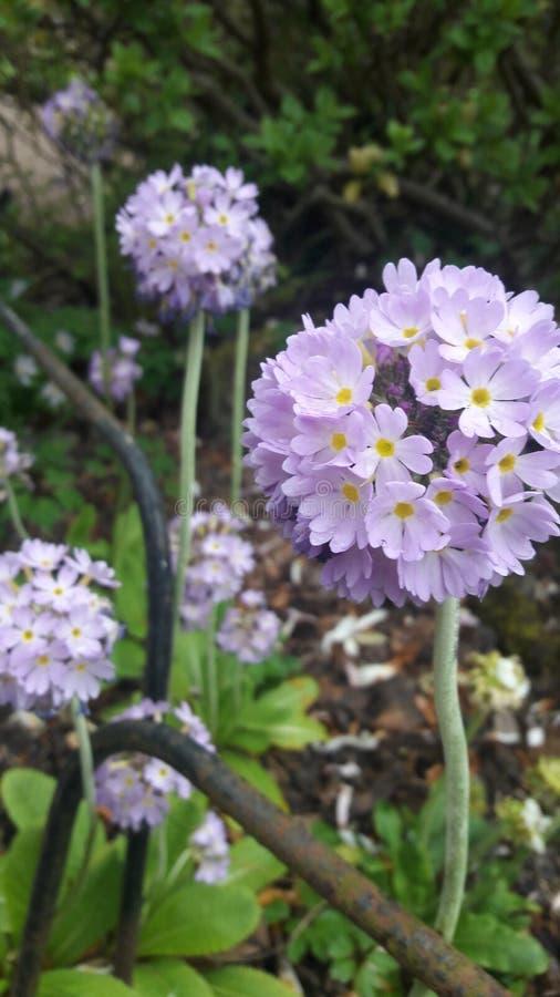 Bolas de flores fotografía de archivo libre de regalías