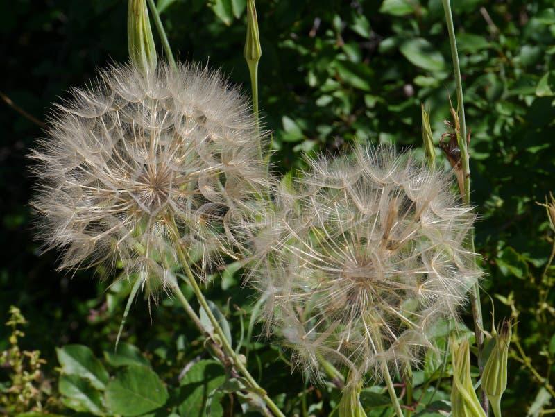 Bolas de la semilla de una Cabra-barba del prado imagen de archivo