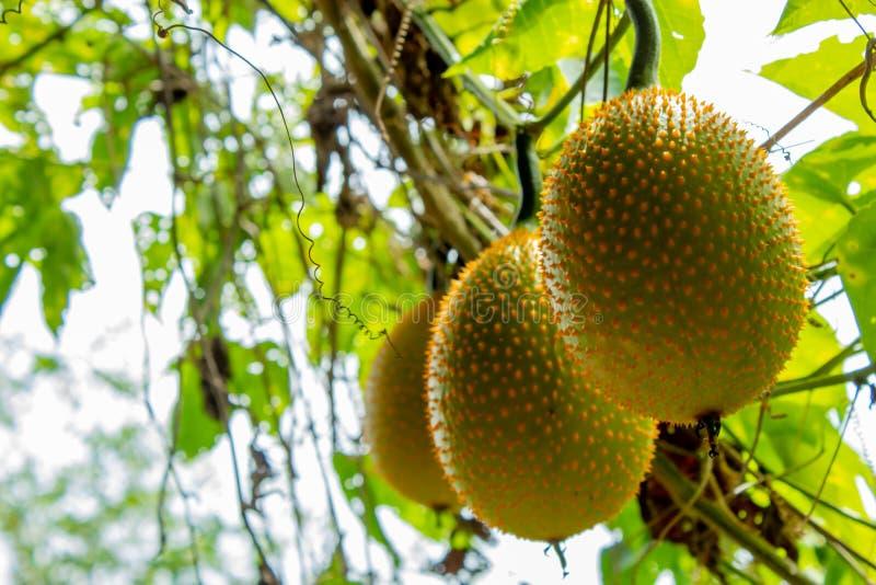 Bolas de melón amarillas en el árbol imagen de archivo