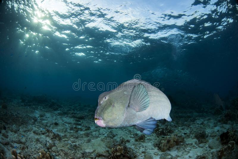 Bolbometopon Muricatum Bumphead Parrotfish. They come to the shallows in the Sipadan island in the early morning. They usually eat corals. They contribute to stock images