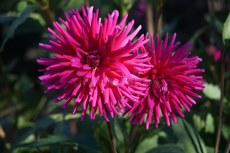 Cactus Dahlia Ambition, striking pink flowers. Bold and dramatic in form, these varieties represent some of our favourites and never fail to impress. Highly royalty free stock photography