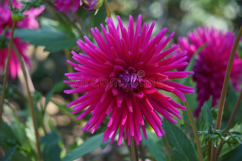 Cactus Dahlia Ambition, striking pink flowers. Bold and dramatic in form, these varieties represent some of our favourites and never fail to impress. Highly stock photos