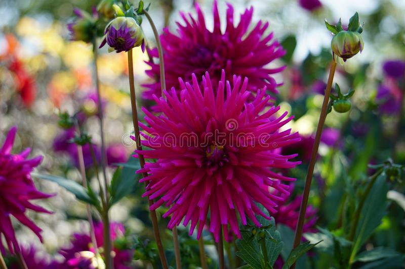 Cactus Dahlia Ambition, striking pink flowers. Bold and dramatic in form, these varieties represent some of our favourites and never fail to impress. Highly royalty free stock photos