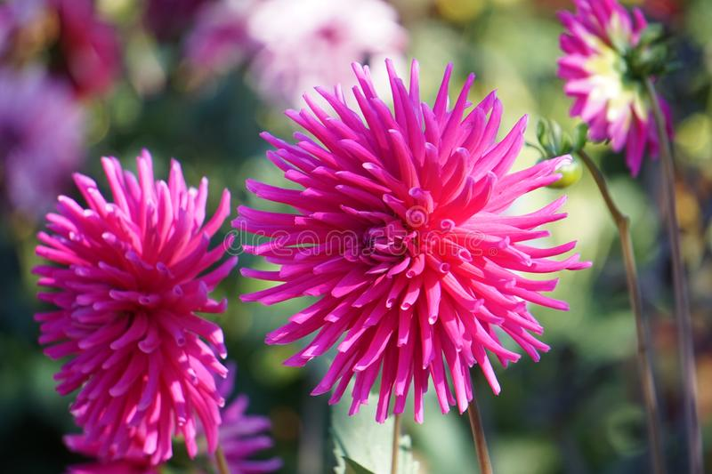 Cactus Dahlia Ambition, striking pink flowers. Bold and dramatic in form, these varieties represent some of our favourites and never fail to impress. Highly stock images