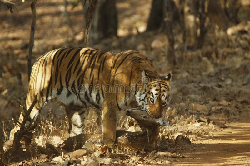 The bold tiger with a deer kill . In the woods of central India stock images