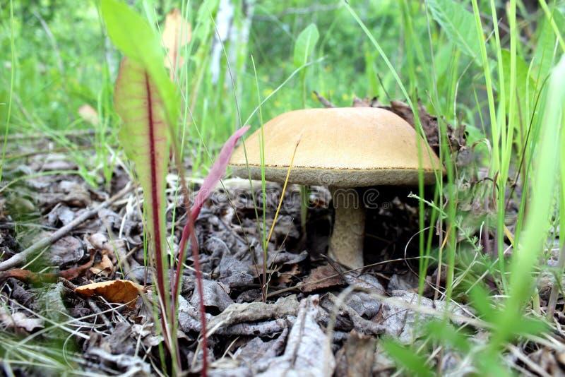 Boleetpaddestoel het groeien in het bos verscheen van onder droge gras en bladeren royalty-vrije stock afbeelding