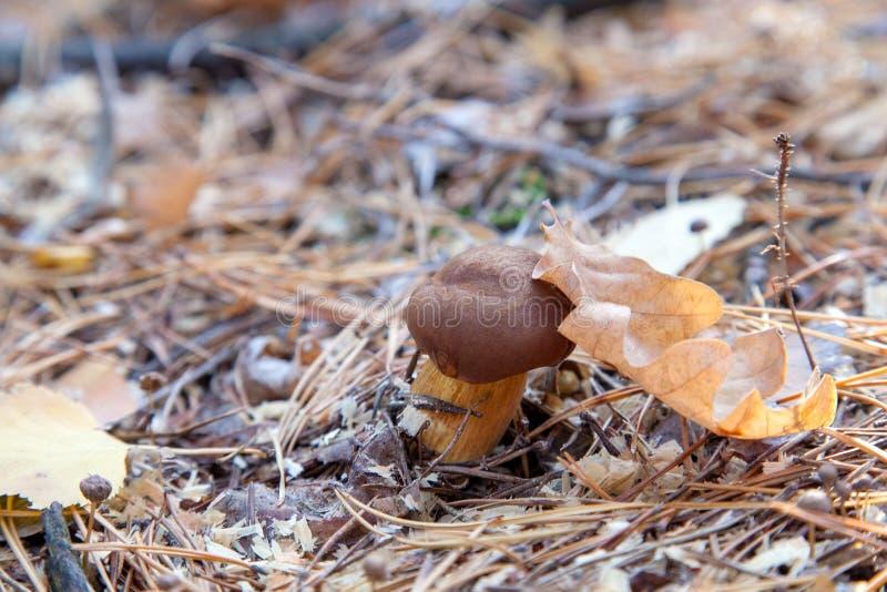 Bolete comestible sauvage de baie connu sous le nom de badia d'imleria ou badius de boletus image libre de droits
