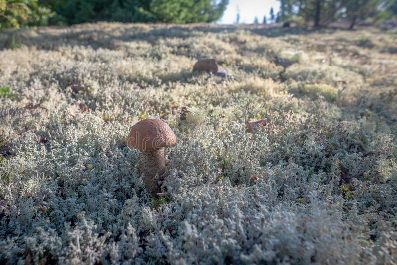 Bolete an lichen in Les Grands-Jardins National Park, Quebec. Bolete on a carpet of lichen in the morning light in Les Grands-Jardins National Park, province of royalty free stock images