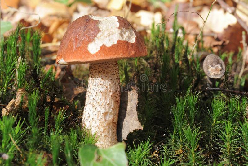 Download Bolete Mushroom Royalty Free Stock Photography - Image: 22145057