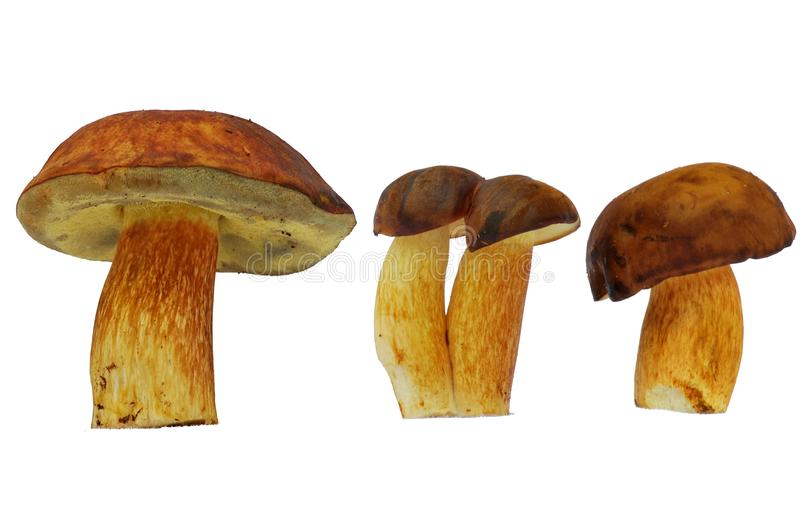 Bolete mushroom. Bolete, safe, edible brown mushroom stock photos