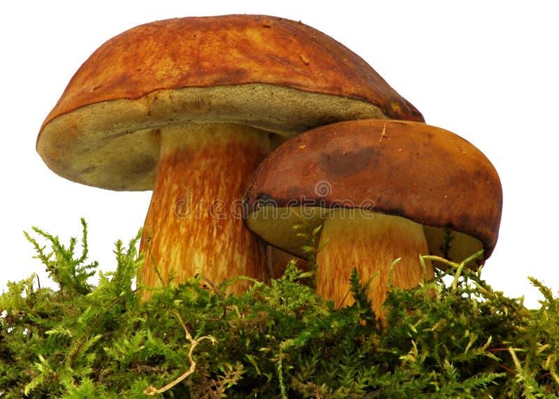 Bolete mushroom. Bolete, safe, edible brown mushroom stock images
