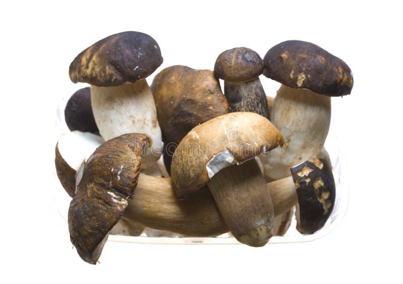 Bolete mushrooms. A cluster of bolete mushrooms royalty free stock photography