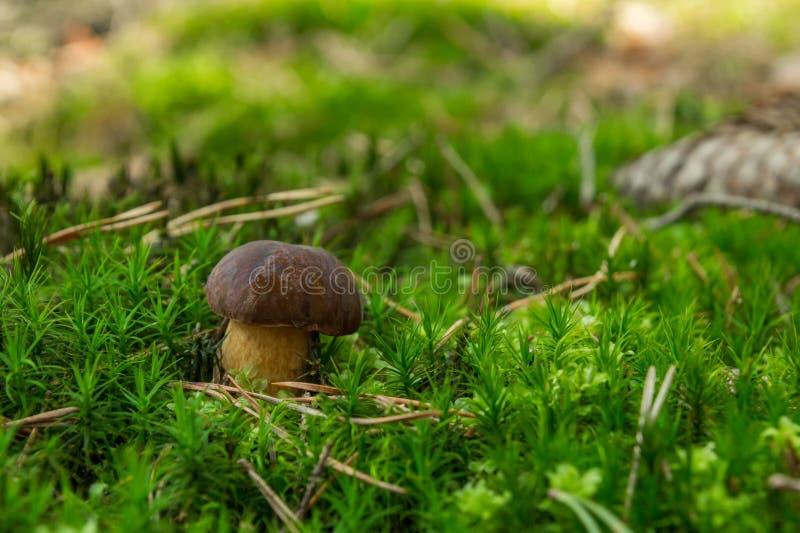 Boleto do cogumelo no musgo foto de stock royalty free