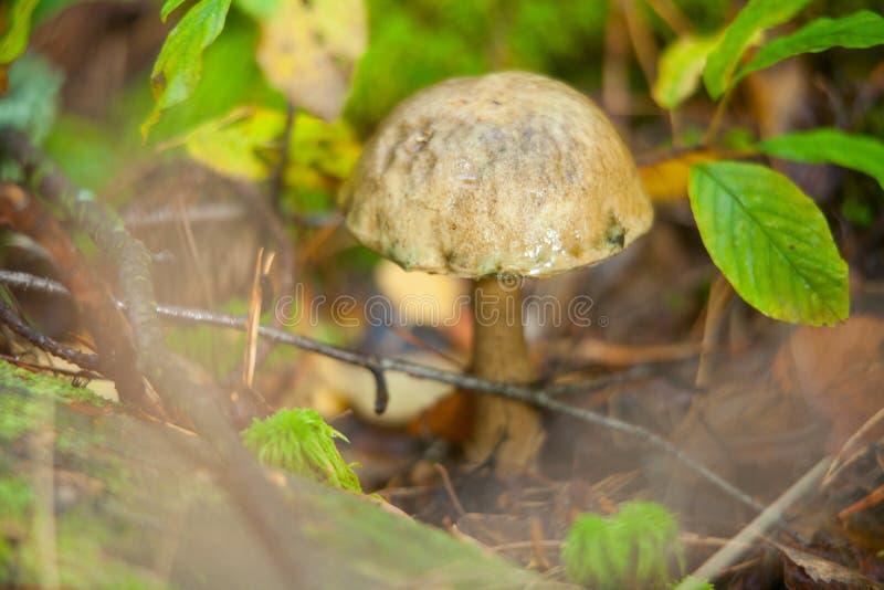 Boleto hermoso del casquillo que crece en bosque imagenes de archivo