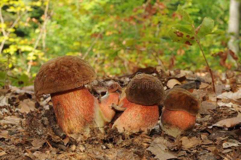 Boletus μύκητας luridiformis, γνωστός ως διαστιγμένος μίσχος bolete στοκ εικόνες