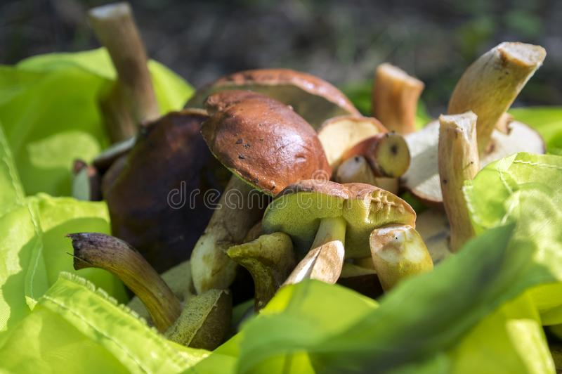 Boletus badius common brown edible bay boletes in green bag. Sunlight royalty free stock image