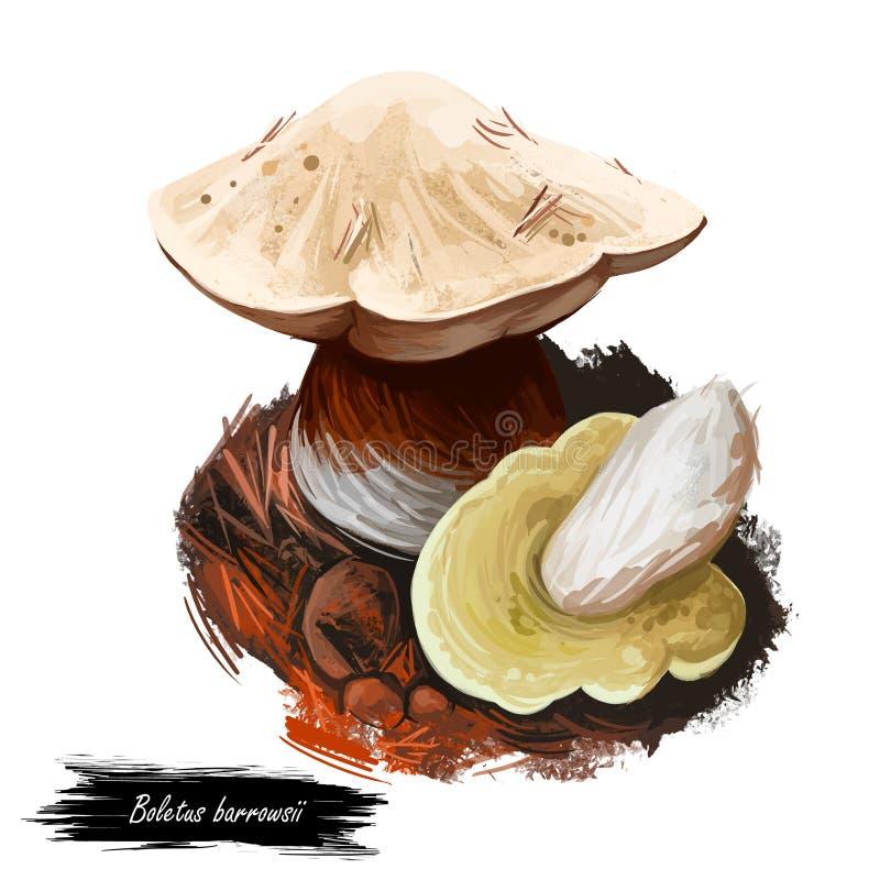 Boletus barrowsii Biały czapka, składnik biologiczny, grzybnia royalty ilustracja