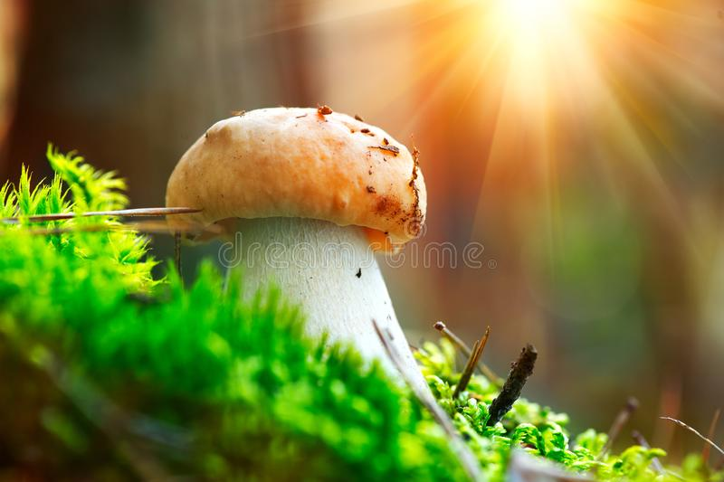 Boletus. Cep mushroom growing in autumn forest. Mushroom picking royalty free stock photos