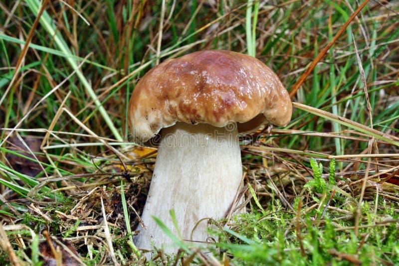 Boletus de champignon image libre de droits