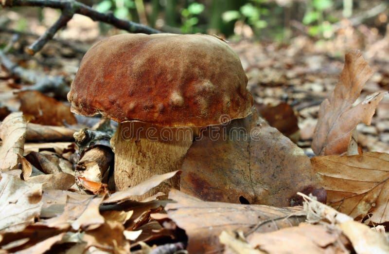 Boletus de champignon photo libre de droits