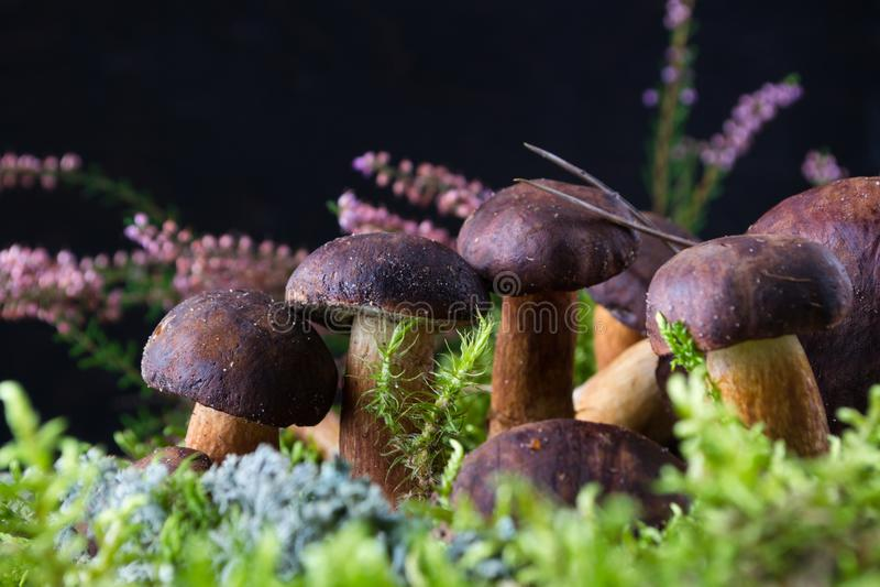 Boletus de champignon sur le fond en bois foncé avec de la mousse, images libres de droits