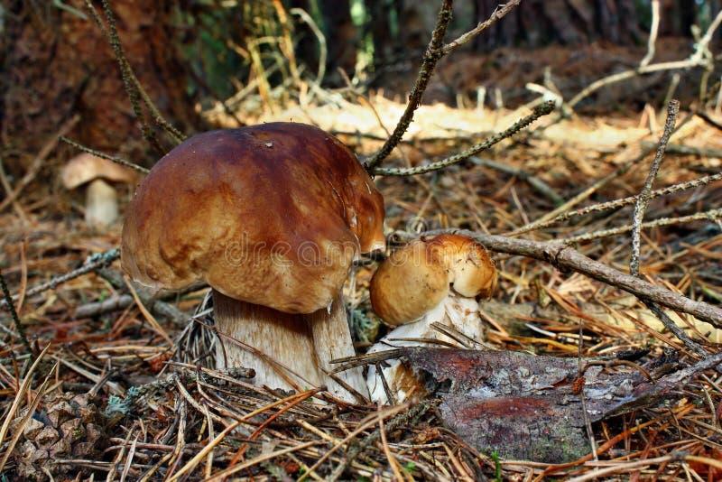 Boletus de trois champignons images libres de droits