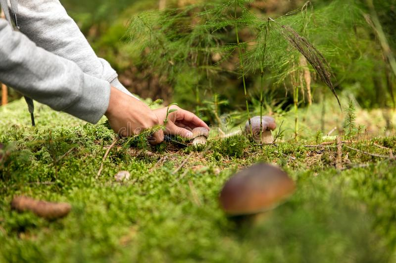 Boletus edulis in the forest, mushrooming and finding the mushrooms stock image