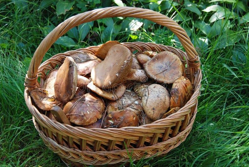 Boletus edulis mushroom in basket stock photos