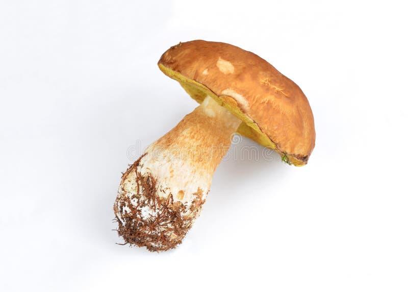 Boletus edulis mushroom royalty free stock images