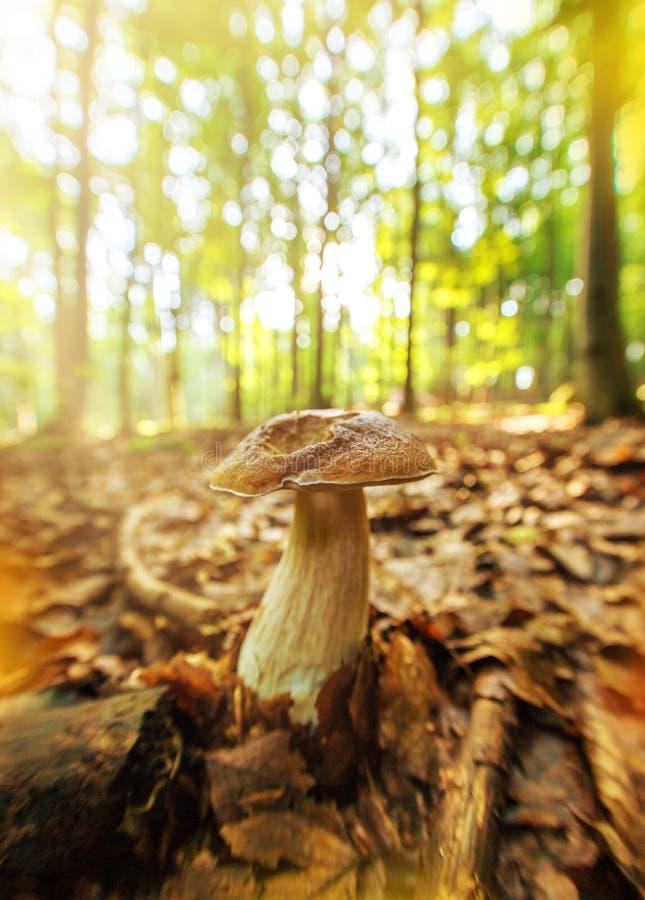 Boletus edulis nella foresta immagini stock libere da diritti