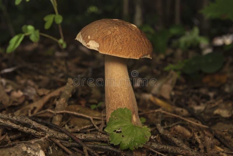 Boletus essbar im Waldessbaren Pilz stockfotografie
