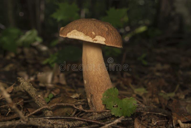 Boletus essbar im Waldessbaren Pilz stockfoto