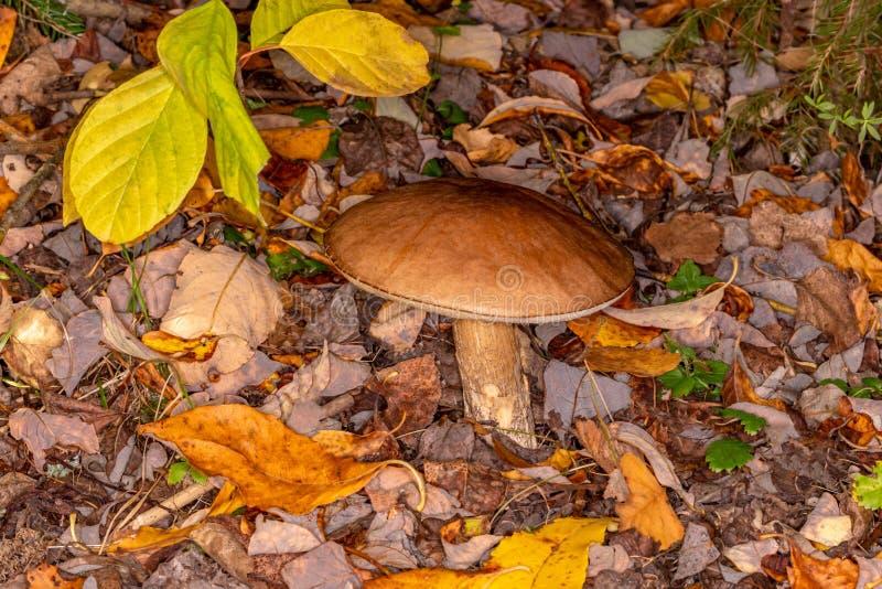 Boletus Leccinum scabrum. Mature mushroom in the autumn forest. Edible mushroom stock image
