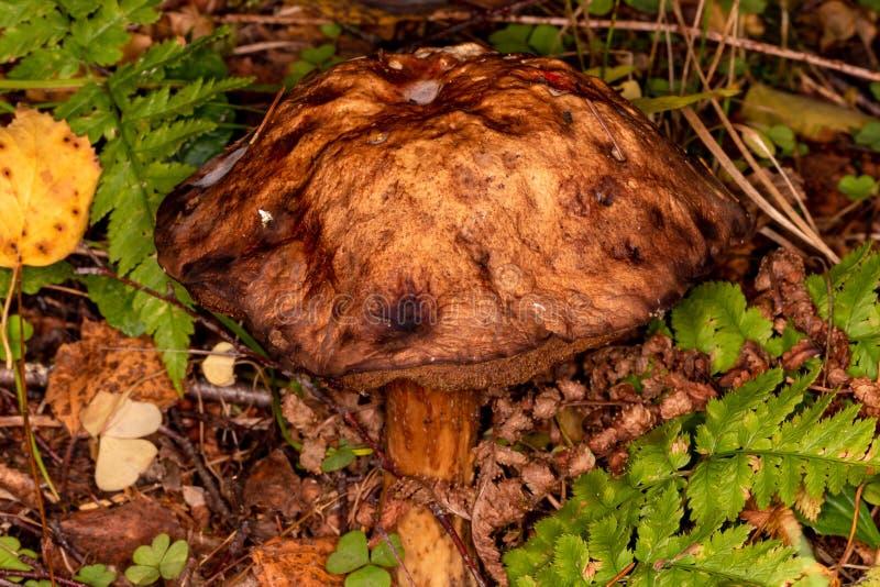 Boletus Leccinum scabrum. Very old mushroom in autumn forest. Ripe mushroom, spreading spores royalty free stock image