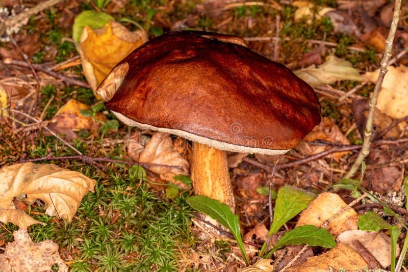 Boletus Leccinum scabrum. Mature mushroom in the autumn forest. Edible mushroom stock photography