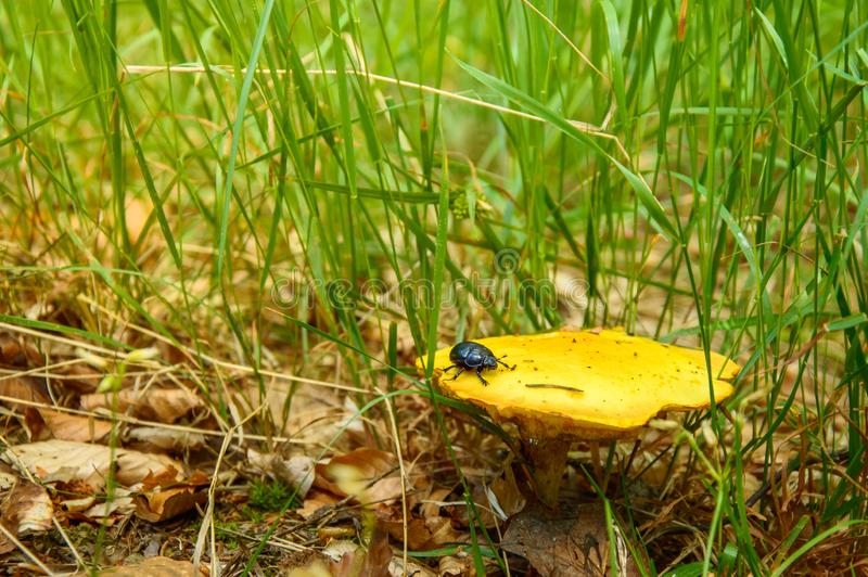A boletus mushroom with a beetle on a hat in green grass. Slug, undergrowth, animal, plant, food, insect, day, nature, forest, suillus, grevillei stock photos