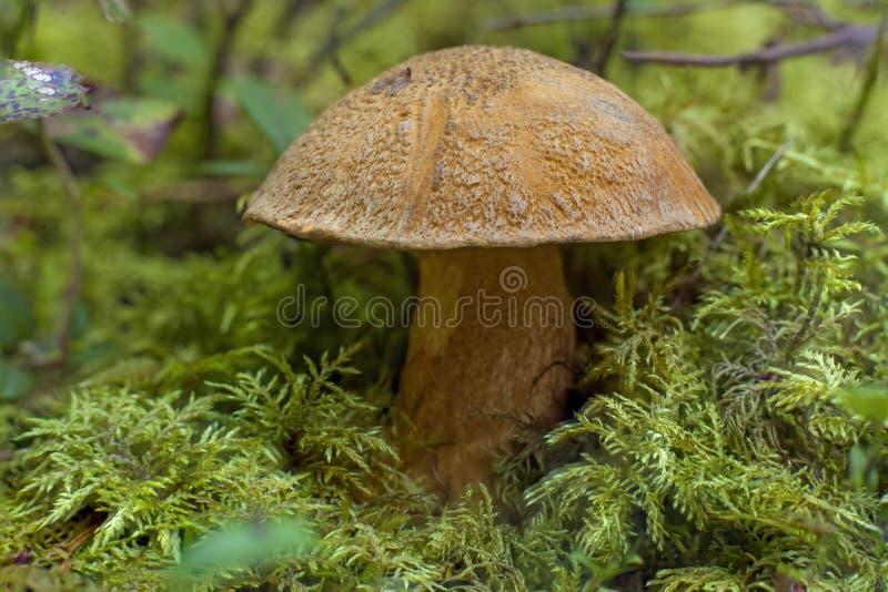 Boletus mushroom stock photo