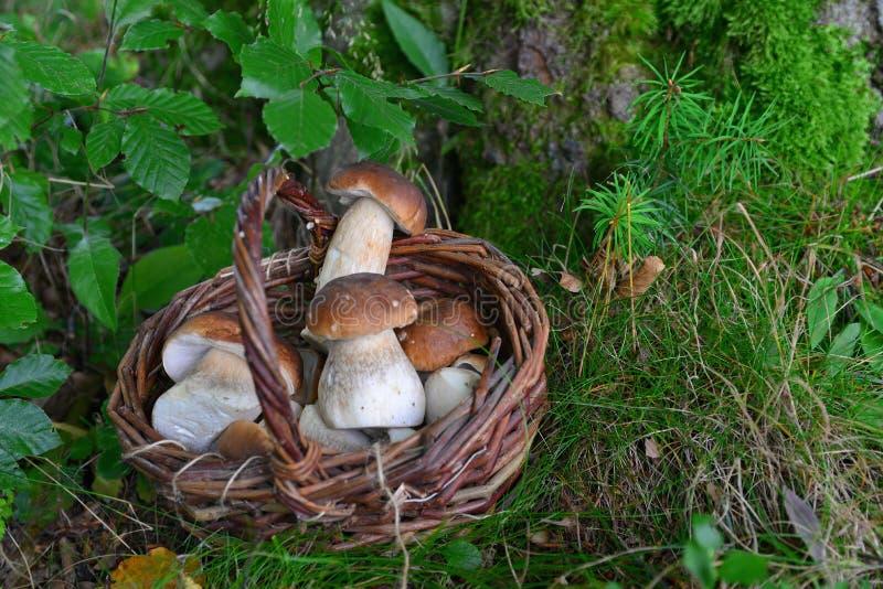 Boletus mushroom in the forest stock photos