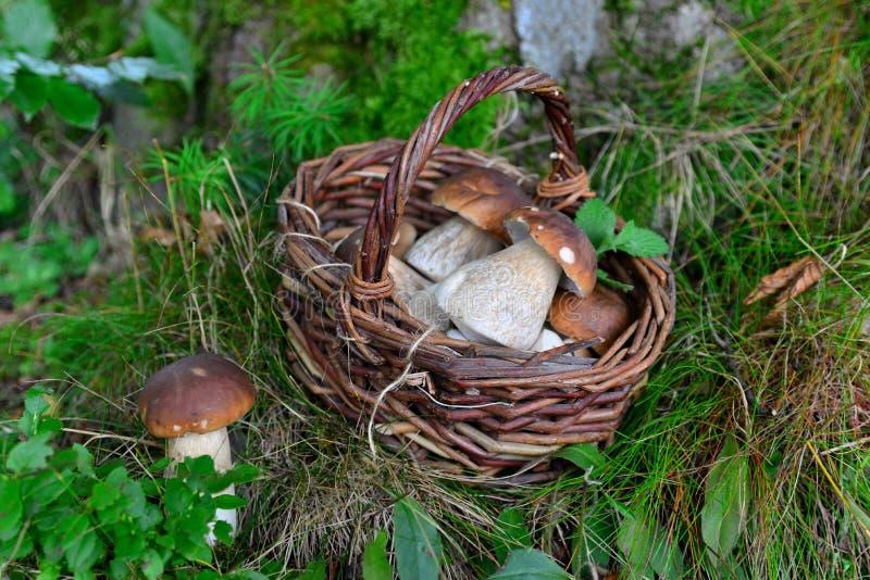 Boletus mushroom in the forest royalty free stock photo