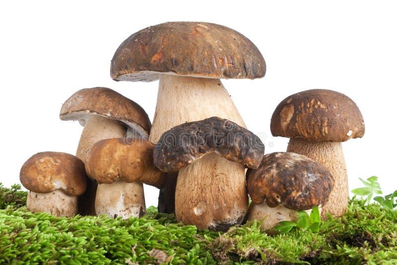 Boletus mushroom with moss royalty free stock image