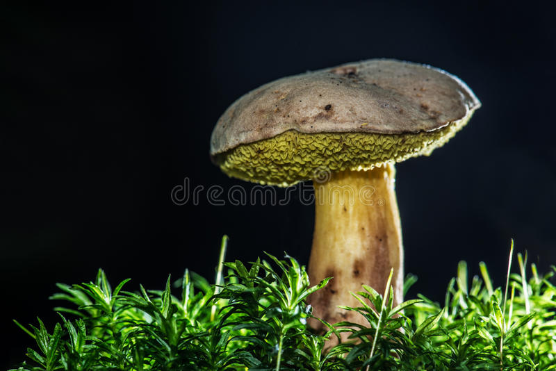 Boletus Mushroom Royalty Free Stock Photography