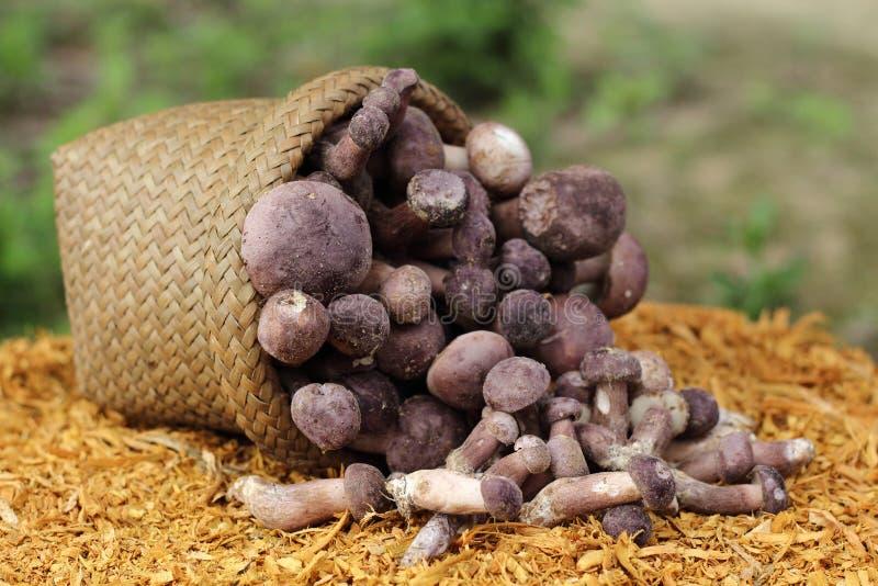 Boletus. Mushroom placed on sawdust stock images