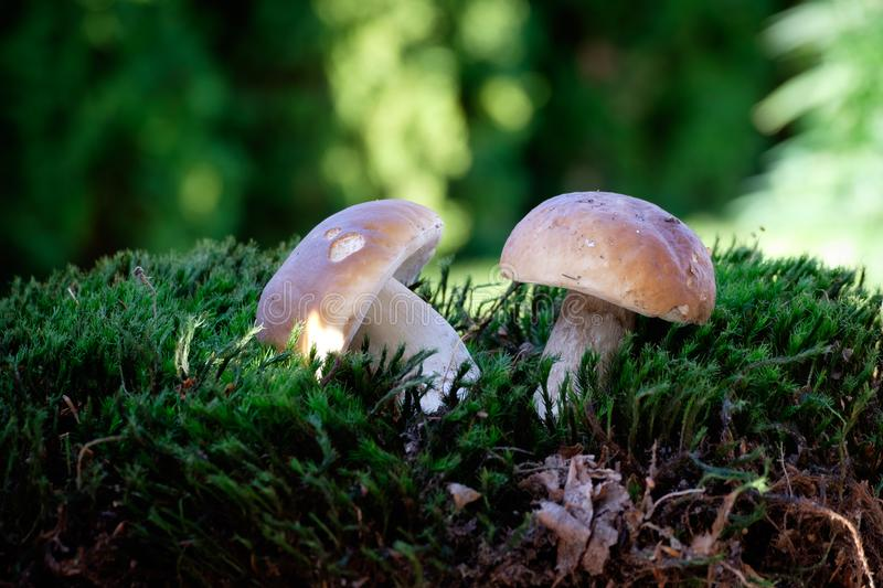 Boletus mushrooms on moss in the forest stock photo